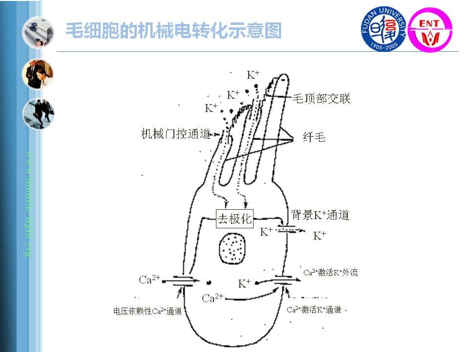 耳蜗内部结构示意图
